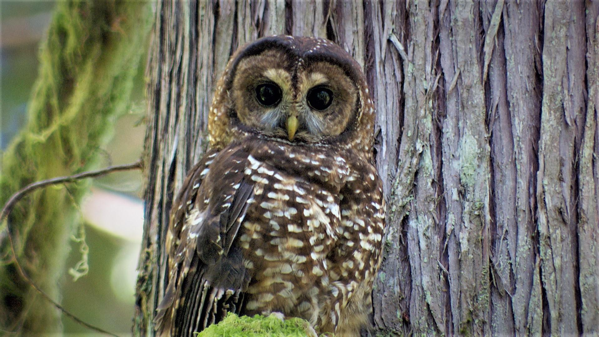 A northern spotted owl in the old growth forest of Oregon