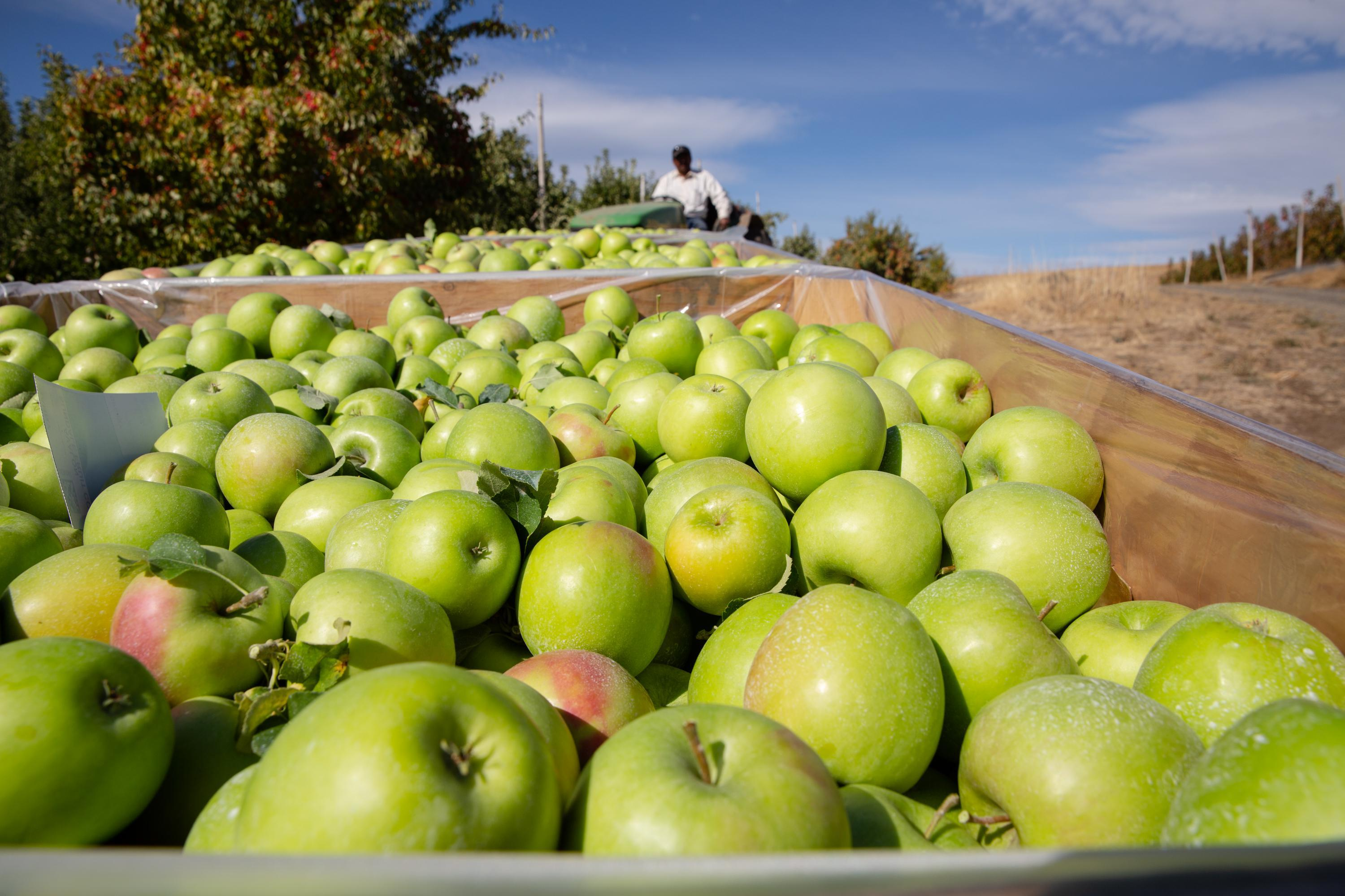 Vilmer Alcantar hauls bins of Granny Smith apples at Avalon Orchards in Sundale, Wash., Monday, Oct. 7, 2019. Alcantar is the foreman here and has worked for Avalon since 1983.