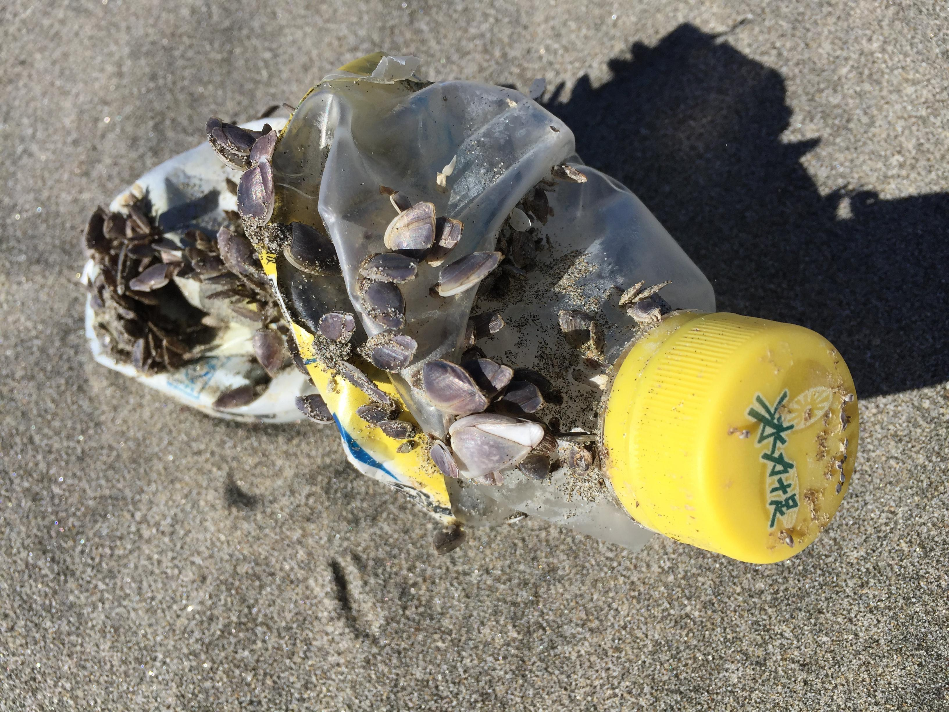 Asian lifeforms cling to a plastic bottle that washed on Washington's Long Beach Peninsula.