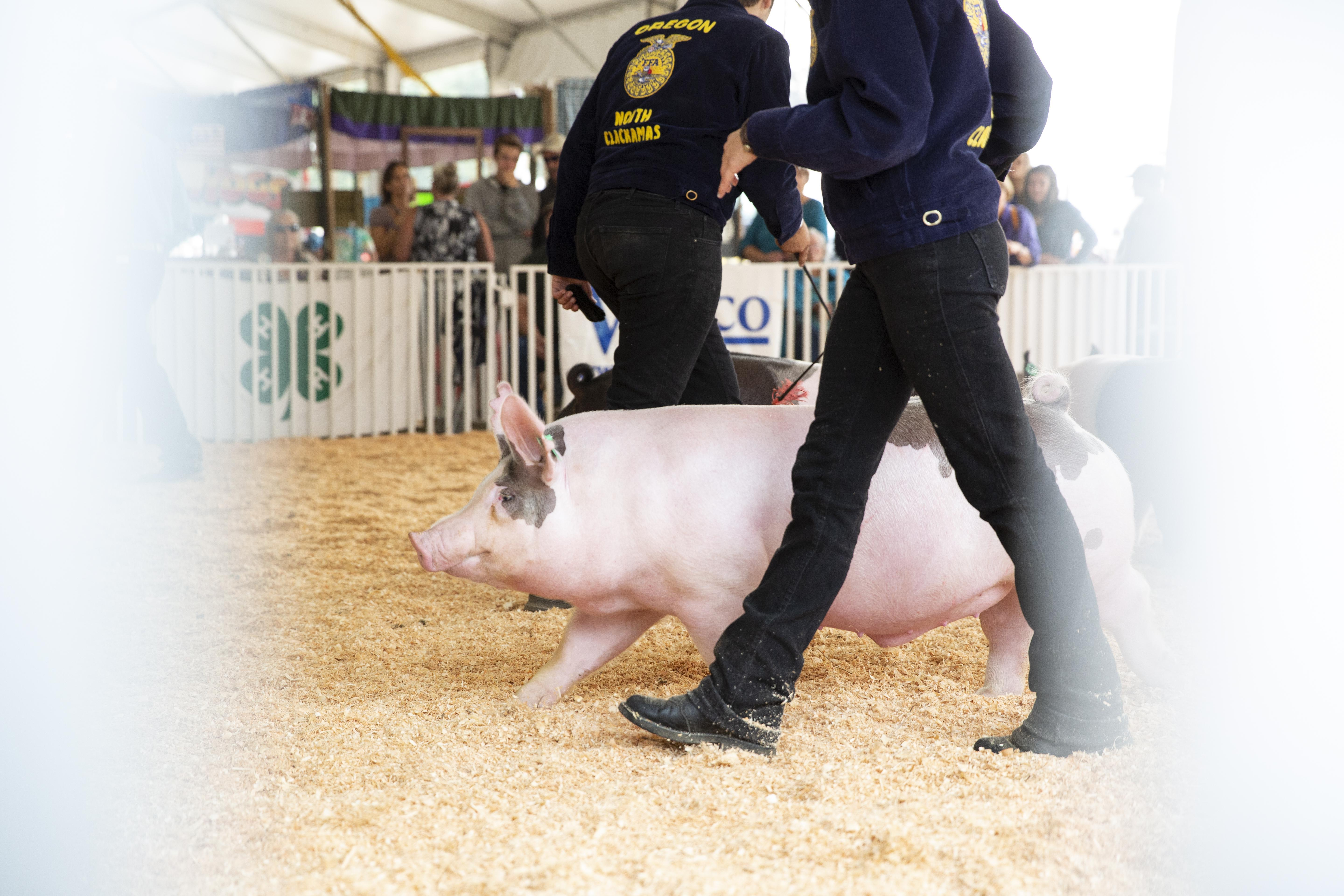 Erika Bergstrom shepherds her pig, Louie, in the show ring during the market hog competition at the Clackamas County Fair.