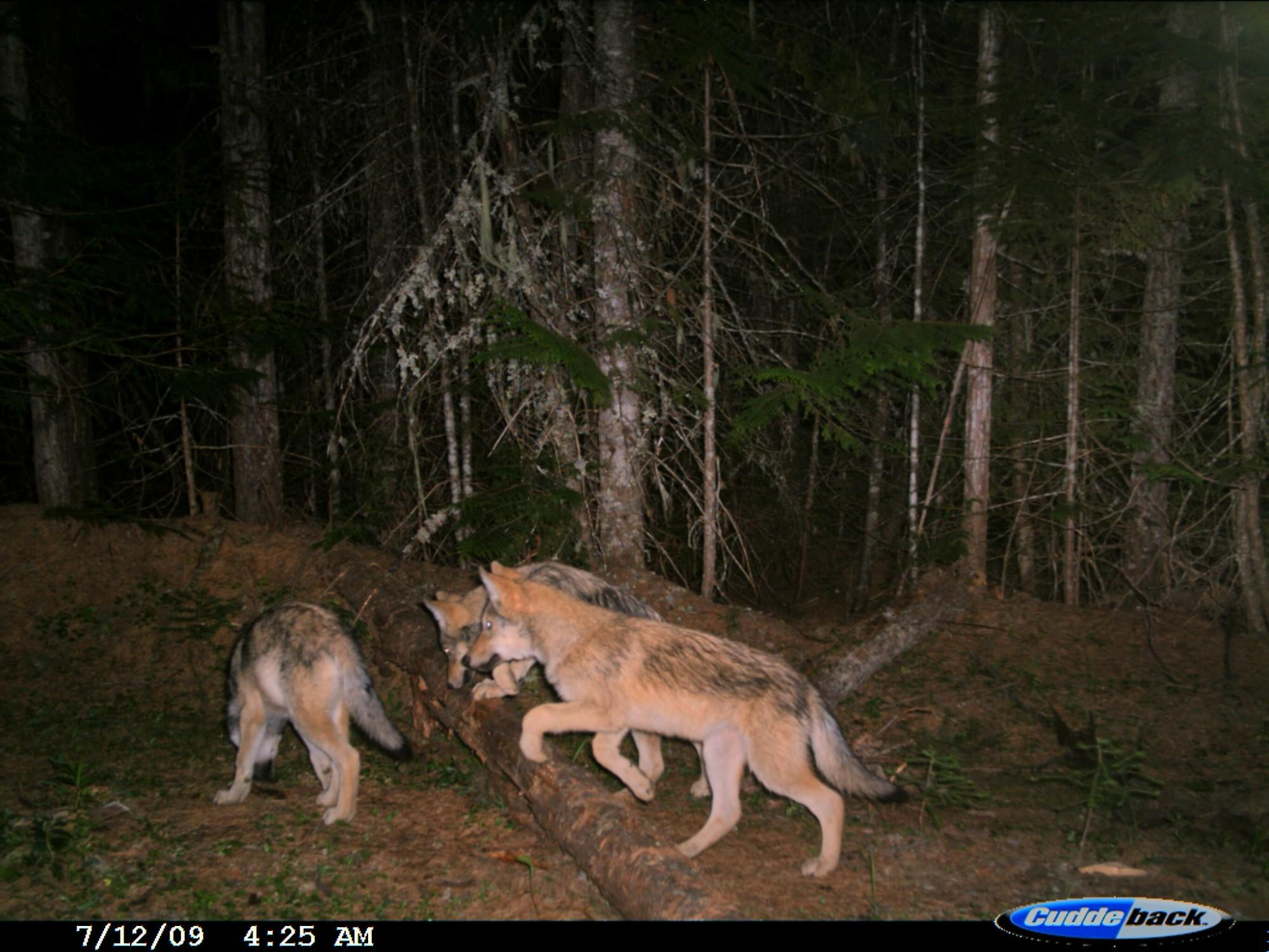 Wolf cubs are caught on a trail camera in Washington state in 2009. Washington's wolf population has grown from around only a dozen wolves in 2009 to 115 by 2016. As the state's population grew, ranchers became more familiar with wolves attacking their cattle and sheep.
