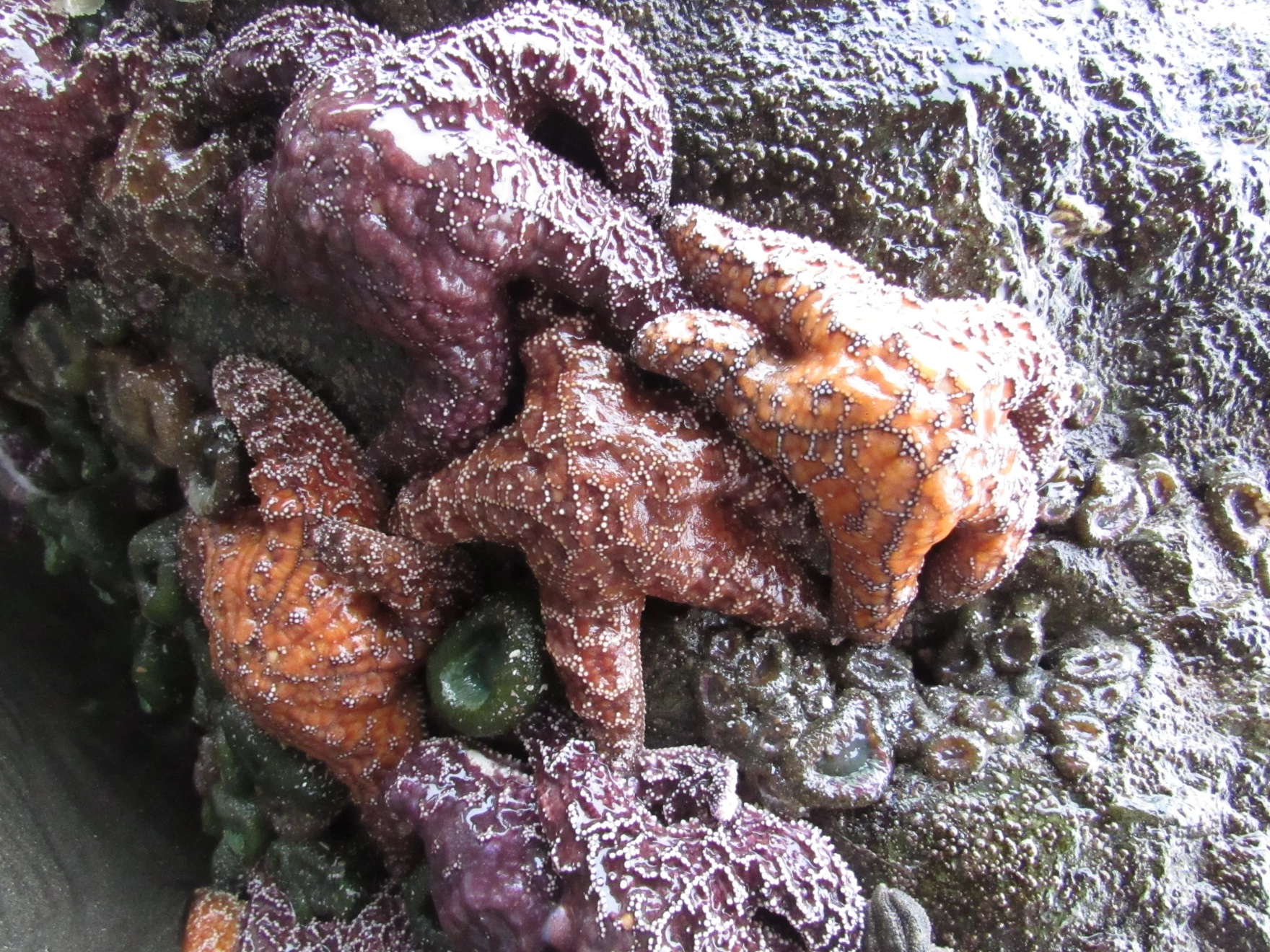 Ochre sea stars and sea anemones cling to rocks at low tide on Oregon's South Coast.