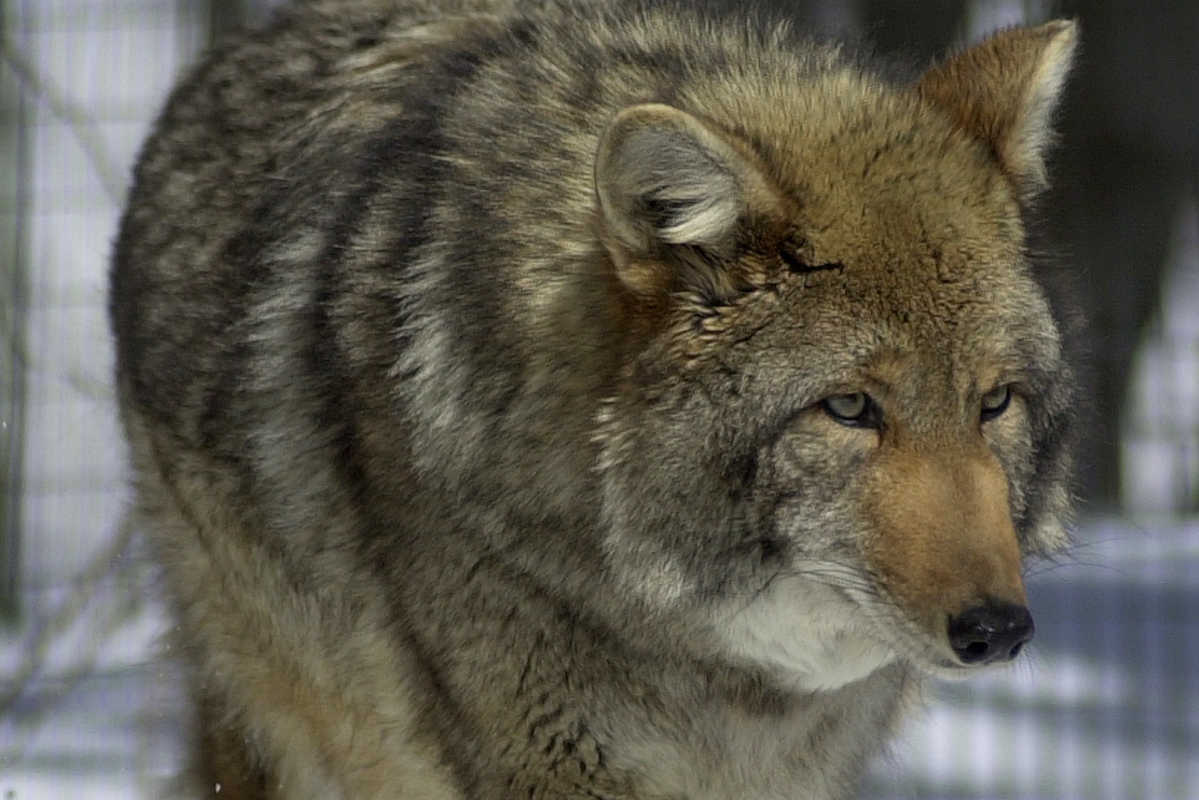 A male Eastern coyote patrols a pen at a wildlife conservation center in Maine. ASSOCIATED PRESS