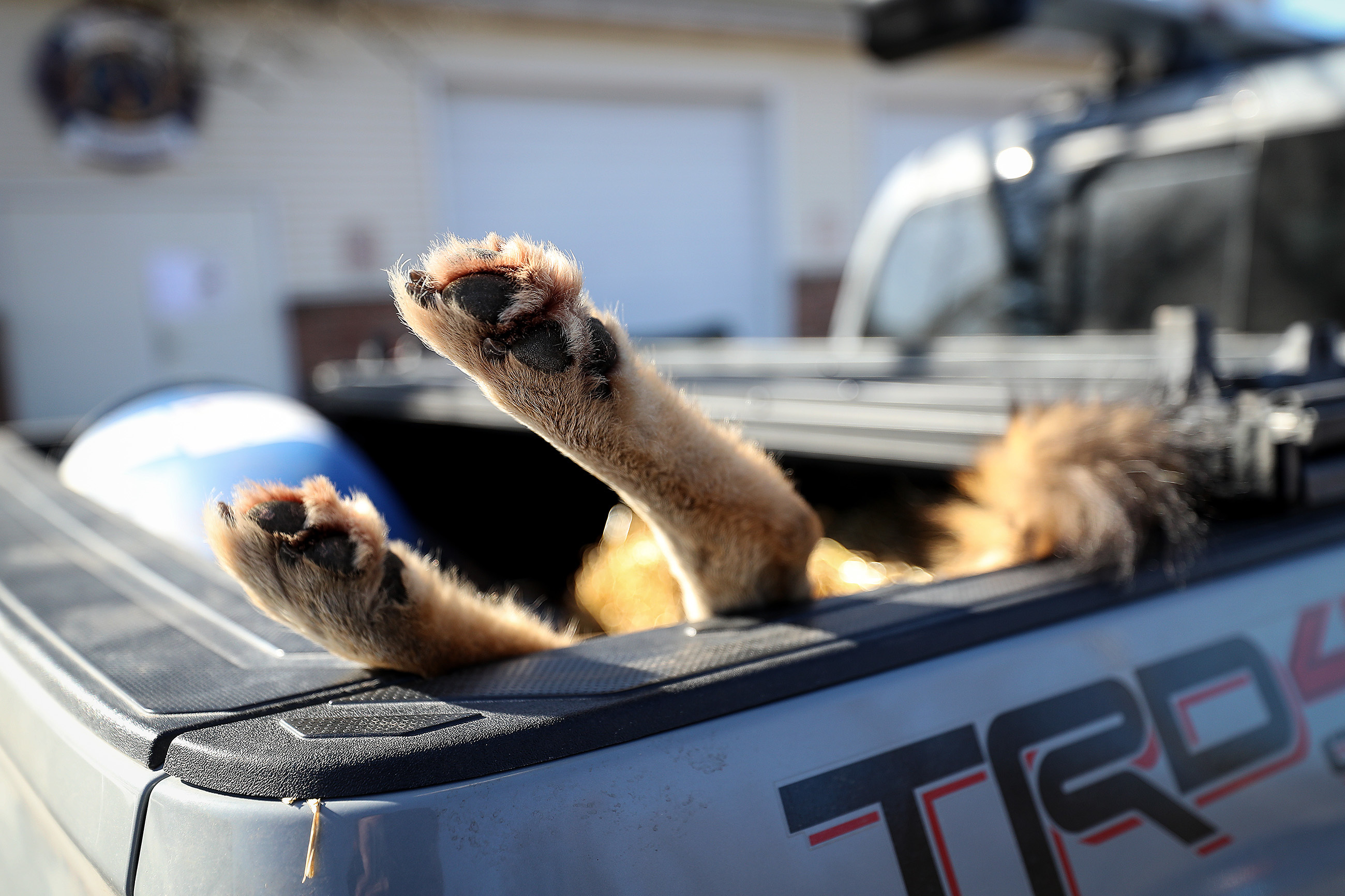 A coyote rests in the bed of a pickup truck before it was weighed during the 17th annual Sullivan County Coyote Hunt in Laporte, PA on February 23, 2020. .DAVID MAIALETTI / Staff Photographer