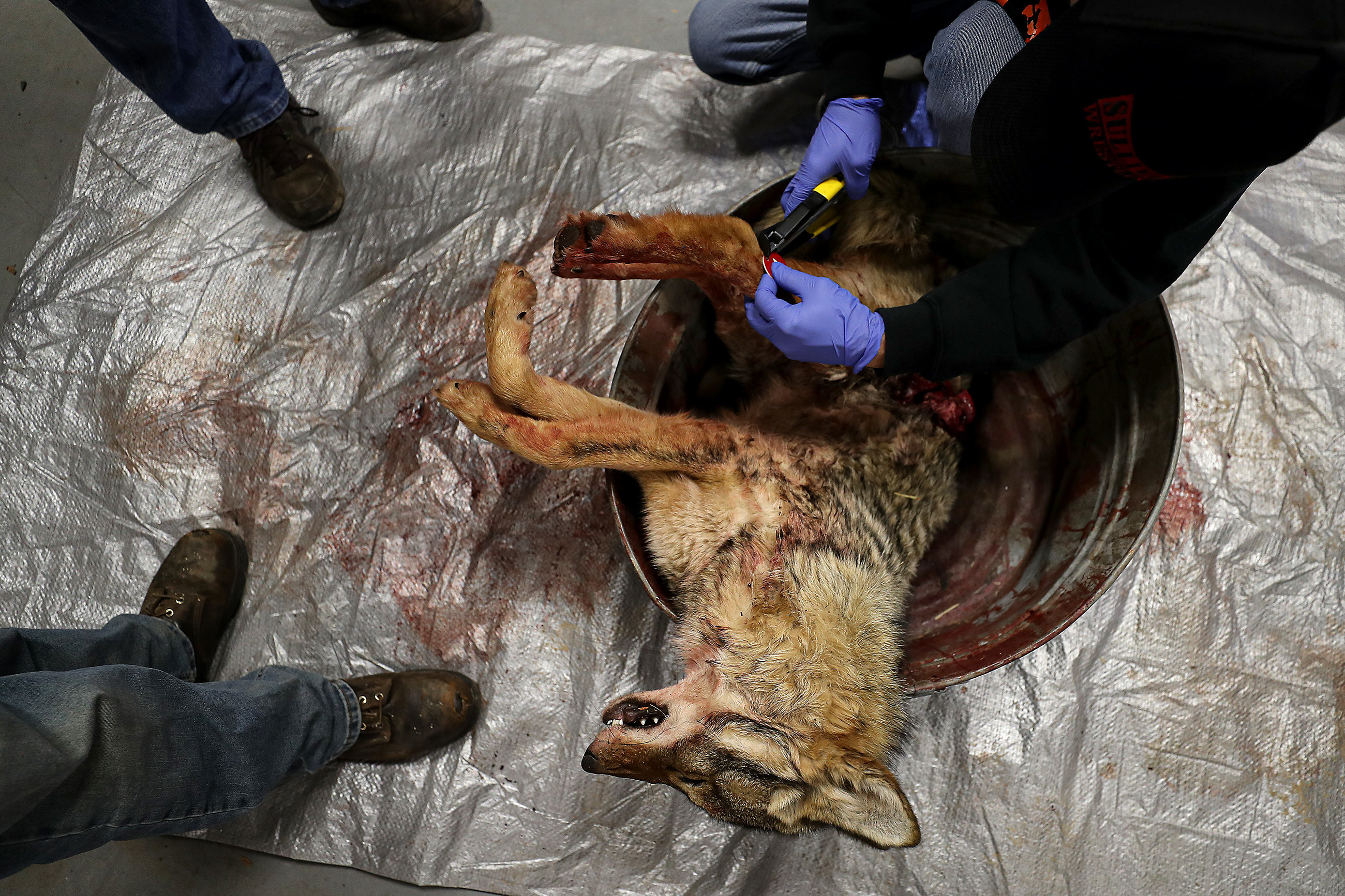 Organizers tag one of the coyotes brought into the firehouse during the 17th annual Sullivan County Coyote Hunt in Laporte, PA on February 23, 2020.DAVID MAIALETTI / Staff Photographer