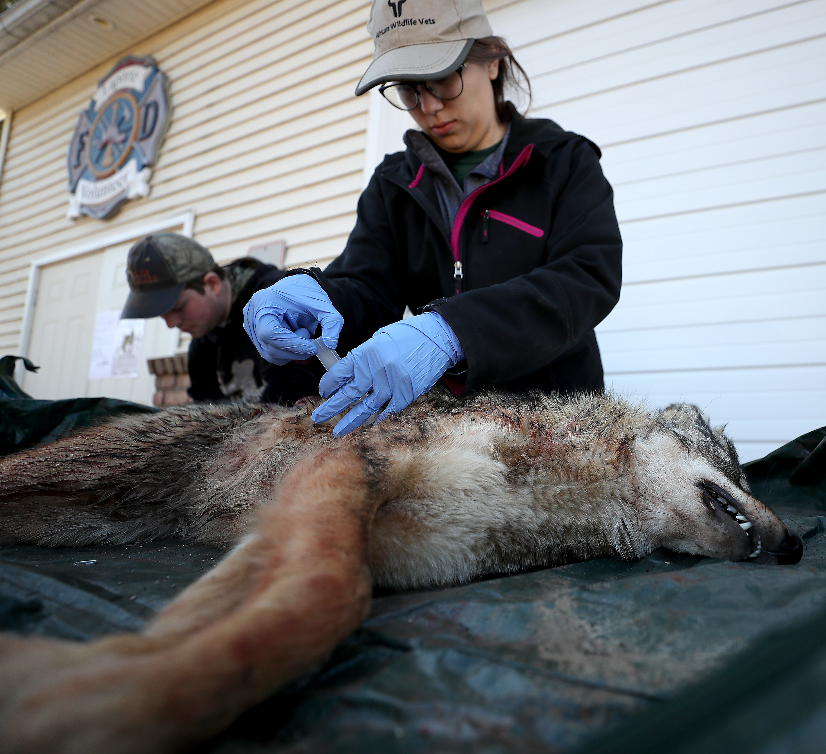 Alec Smith and Jacqueline Chavez of Keystone College take notes and blood samples on one of the coyotes during the 17th annual Sullivan County Coyote Hunt in Laporte, Pa., on February 23, 2020.DAVID MAIALETTI / Staff Photographer