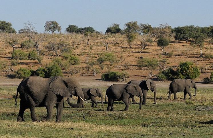 Encontraron más de 100 elefantes muertos y se desconocen las causas