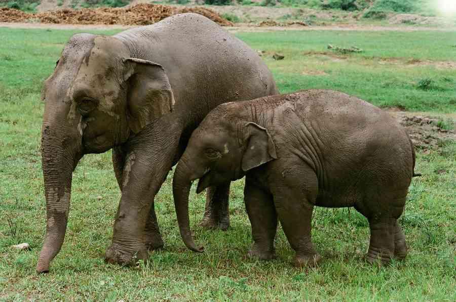 Día Mundial de los Elefantes: los ingenieros del ecosistema